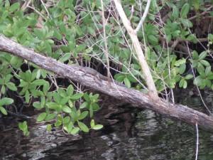 20160214 Everglades IMG_0262 (Custom)
