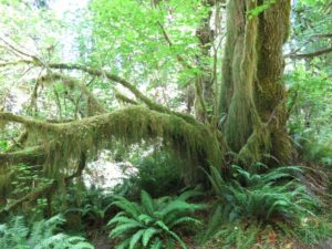 20160703 Hoh Rain Forest IMG_0805 (Small)